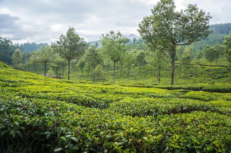 Plantations de thé en montagnes dans l'Inde de sud de Munnar Kerala photo libre de droits