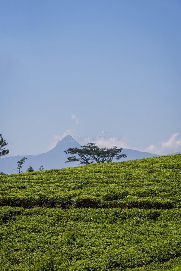 Plantations de thé et crête d'Adams, Sri Lanka images stock