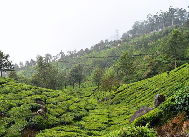 Plantations de thé sur des collines de Munnar, Kerala, Inde - un paysage vert de nature photographie stock libre de droits