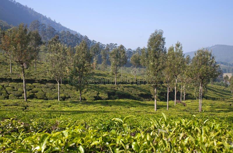 Plantations de thé vert au Kerala, Inde du sud photographie stock libre de droits