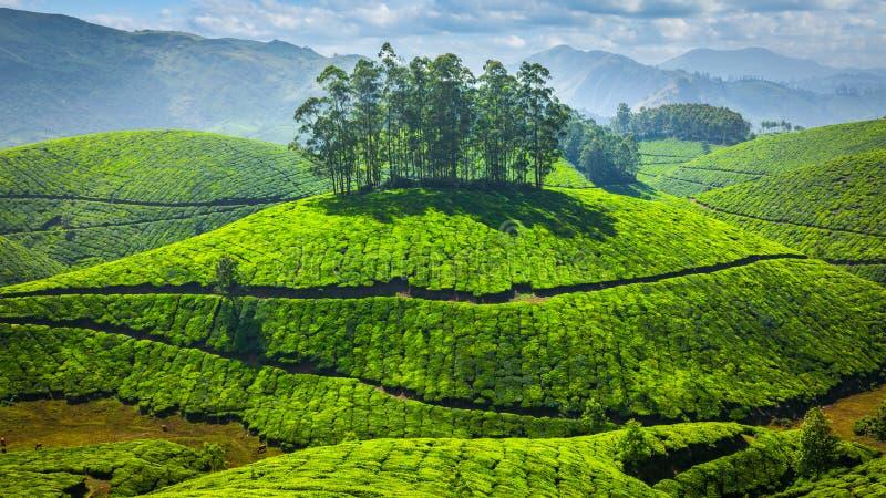 Plantations de thé vert dans l'Inde photo stock