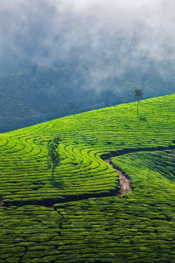 Plantations de thé vert dans Munnar, Kerala, Inde image stock