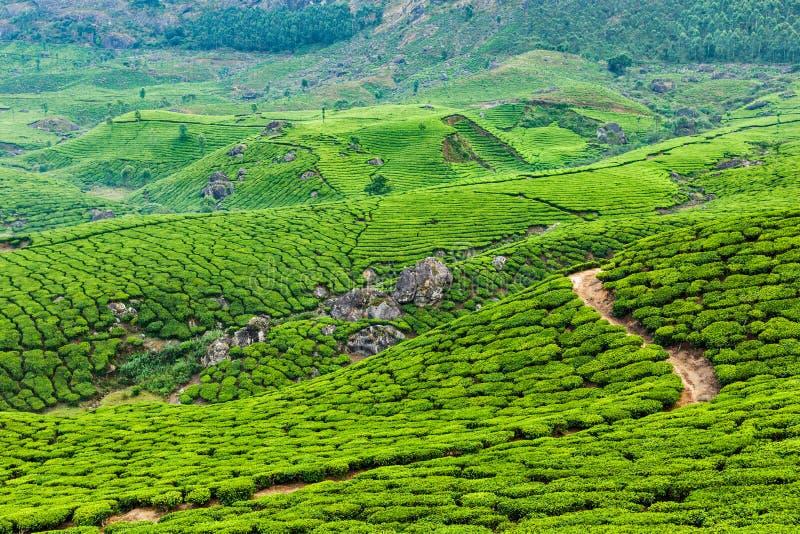 Plantations de thé vert dans Munnar, Kerala, Inde photographie stock