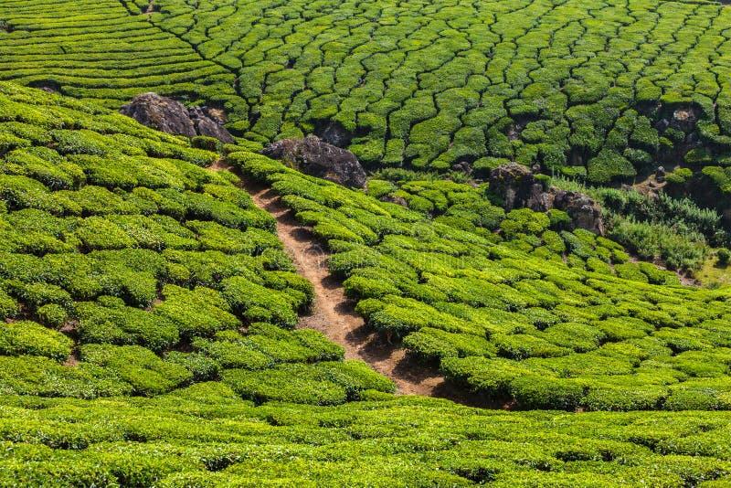 Plantations de thé vert dans Munnar, Kerala, Inde images libres de droits