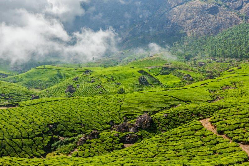 Plantations de thé vert dans Munnar, Kerala, Inde photographie stock libre de droits