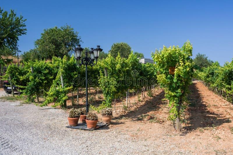 Plantations de vignoble en Majorque Inca, Majorque, Espagne photographie stock libre de droits