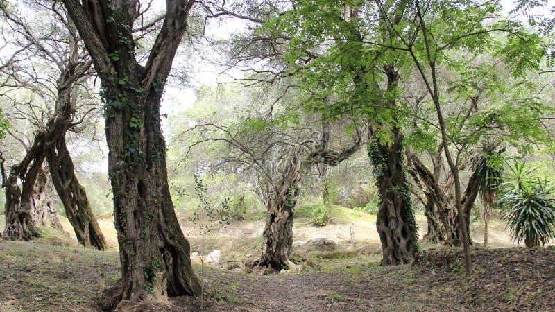 Plantations olives photographie stock libre de droits