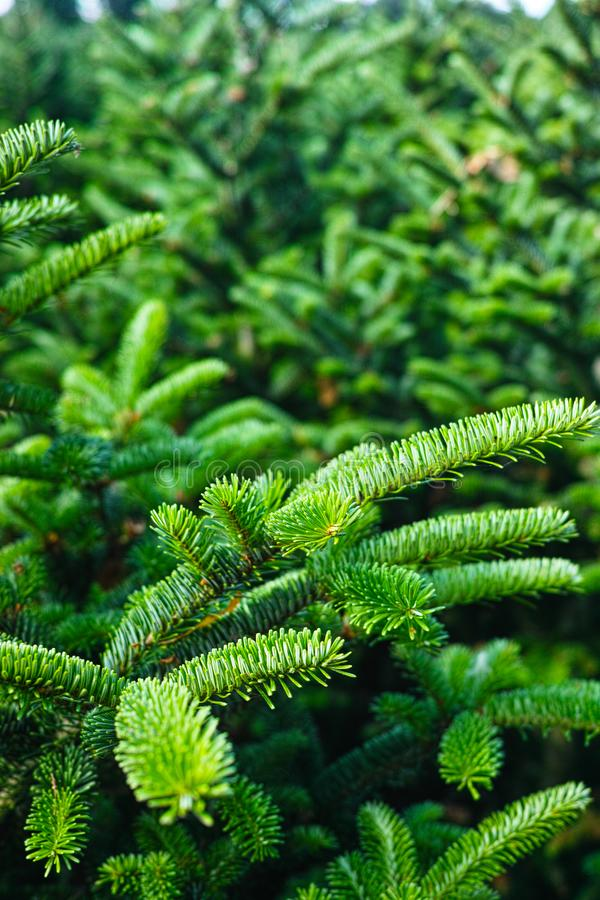 Plantatnion of young green fir Christmas trees, nordmann fir and. Another fir plants cultivation, ready for sale for Christmas and New year celebratoin in stock photos
