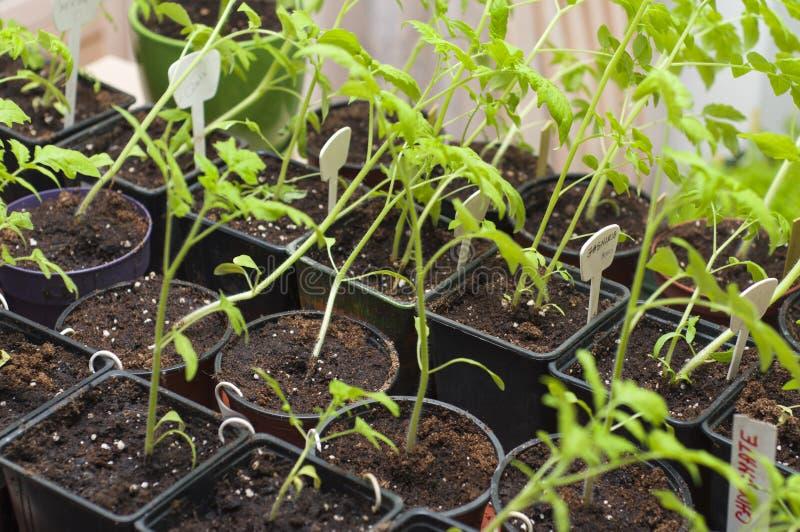 Plantatomat i magasinet för grodd i växthus Eco jordbruk royaltyfri foto