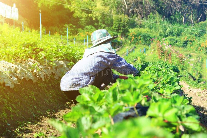 Plantator w truskawki gospodarstwie rolnym obraz royalty free