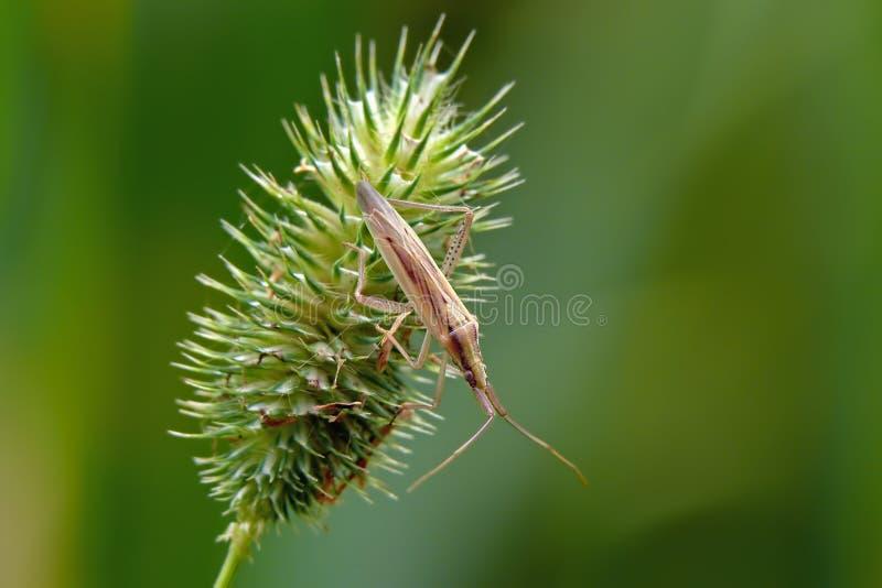 Plantbug