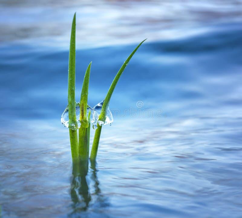 Plante aquatique avec de la glace photo stock