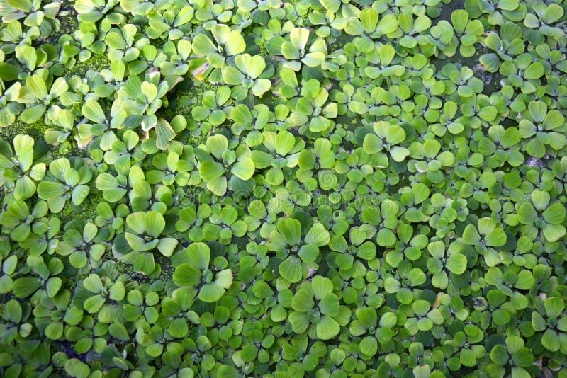 Plante aquatique de Stratiotes de Pistia couvrant le fond de l'eau photos libres de droits