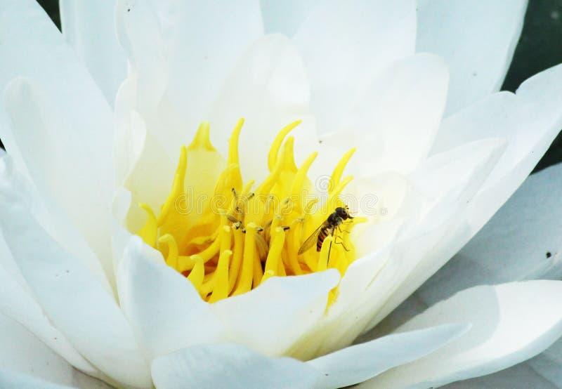 Plante aquatique ornementale avec l'abeille images libres de droits