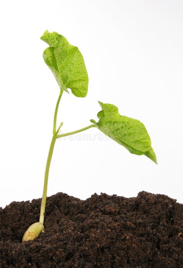 plante d 39 haricot contre le blanc photo stock image du compost graine 2767352. Black Bedroom Furniture Sets. Home Design Ideas