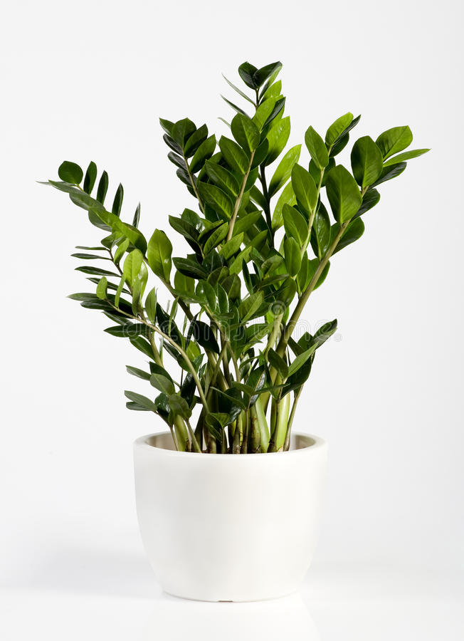 Plante d 39 int rieur cultiv e de zamioculcas photo stock for Plante lumineuse