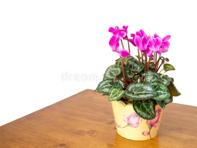 plante d 39 int rieur de cyclamen avec les fleurs roses. Black Bedroom Furniture Sets. Home Design Ideas