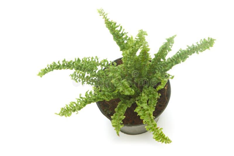 plante d 39 int rieur de foug re foug re dans le pot d 39 isolement photo stock image du tropical. Black Bedroom Furniture Sets. Home Design Ideas