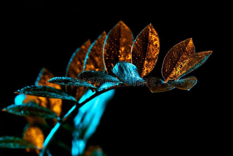 plante d'intérieur de zamioculcas avec des baisses de l'eau, image libre de droits