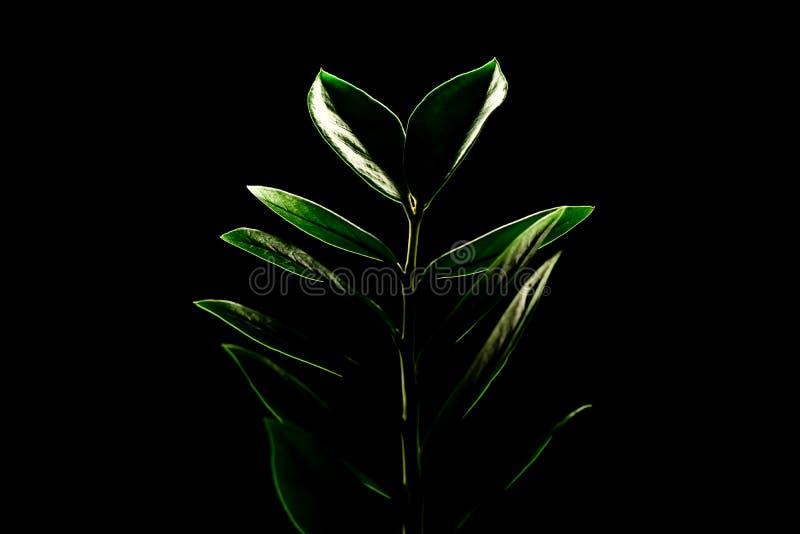 Plante d'intérieur Zamioculcas d'isolement sur un fond noir Copiez l'espace image libre de droits