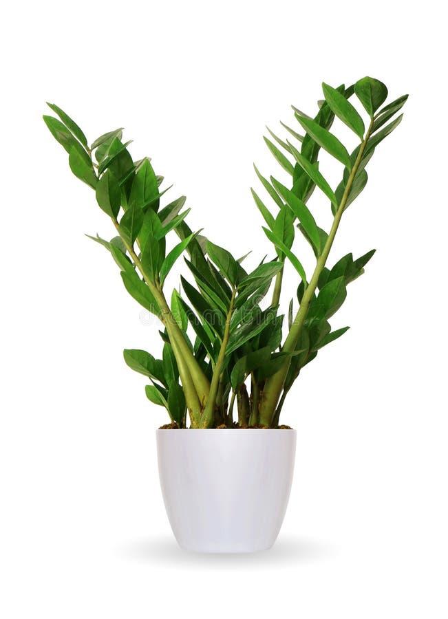 Plante d'intérieur - Zamioculcas une usine mise en pot d'isolement au-dessus du blanc photographie stock