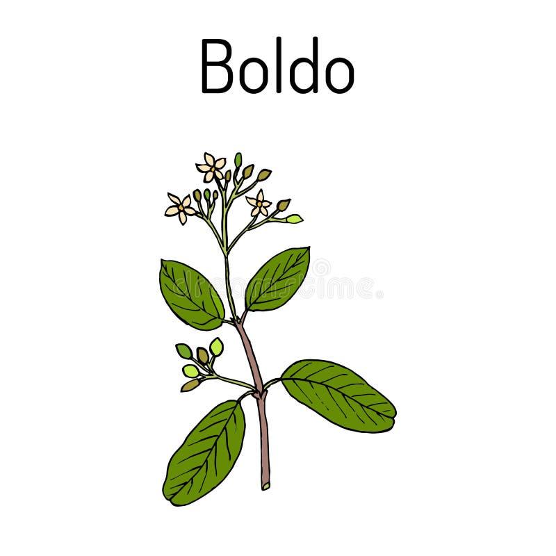 Plante de boldus de Boldo Peumus, culinaire et médicinale illustration de vecteur