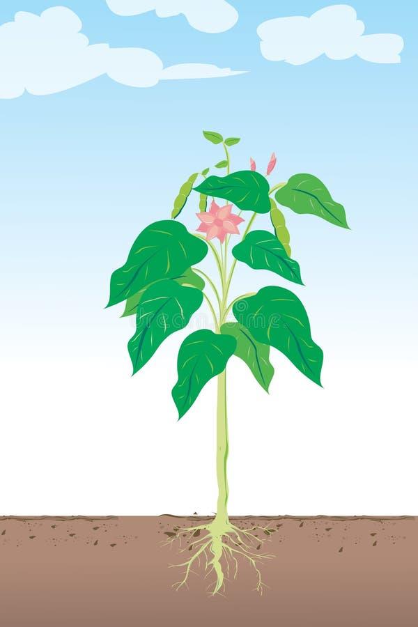 Plante de haricot illustration stock