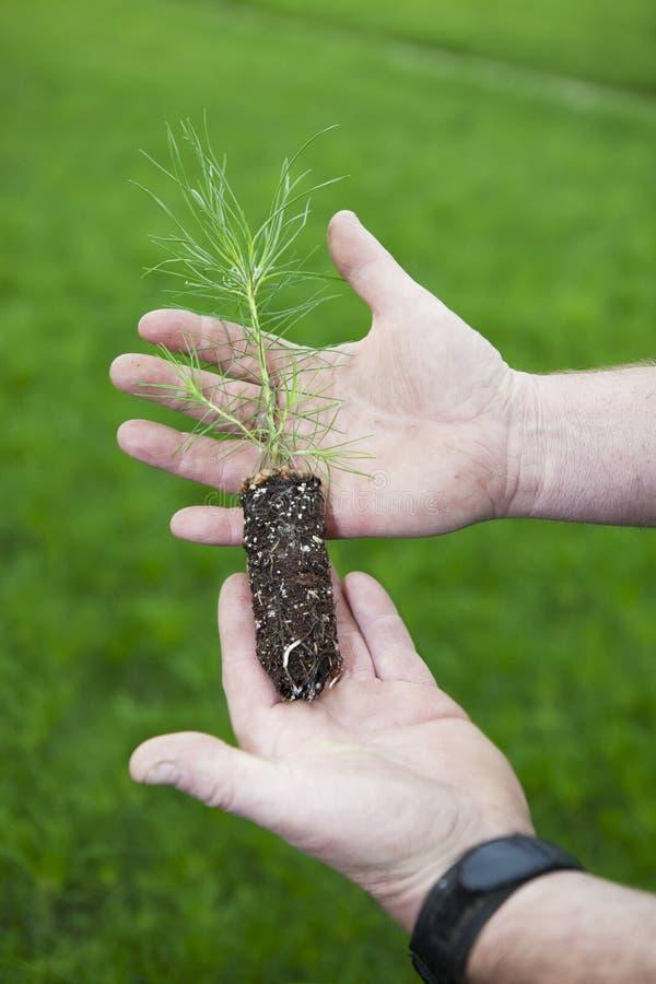Plante de pin de Pôle de loge photographie stock libre de droits