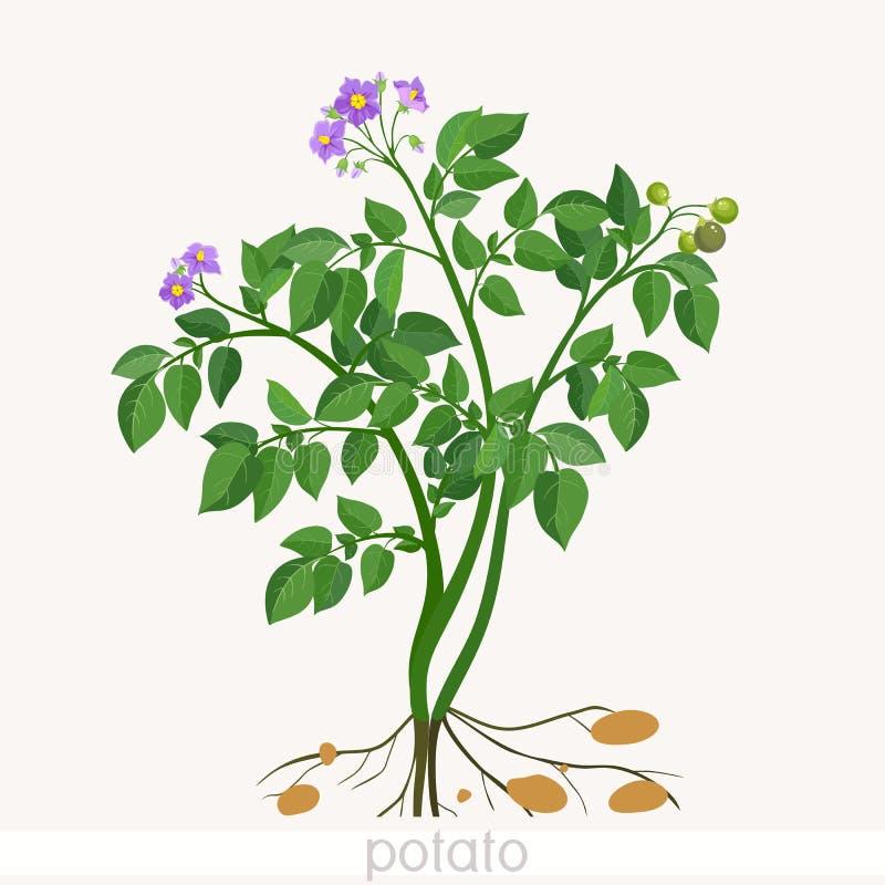 Plante de pomme de terre illustration de vecteur illustration du vert 72547516 - Pomme de terre germee comestible ...