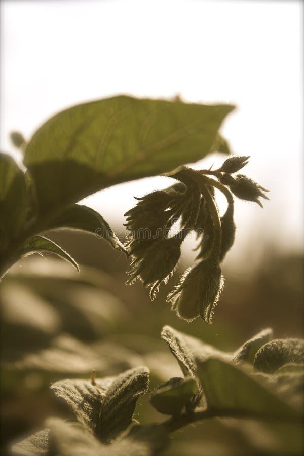 Plante de pomme de terre rouge image libre de droits