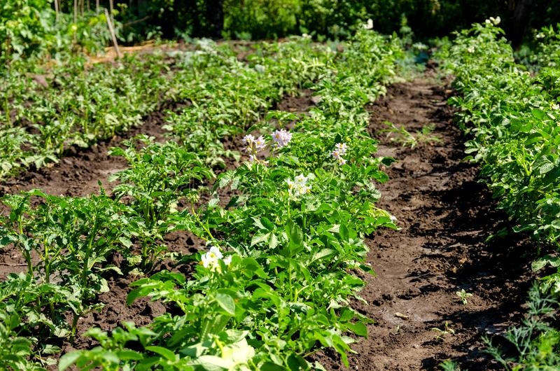 Plante de pomme de terre avec des fleurs sur le lit végétal photographie stock libre de droits