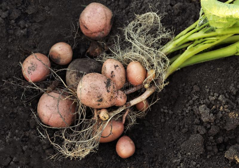 Plante de pomme de terre avec des tubercules sur le sol, image libre de droits