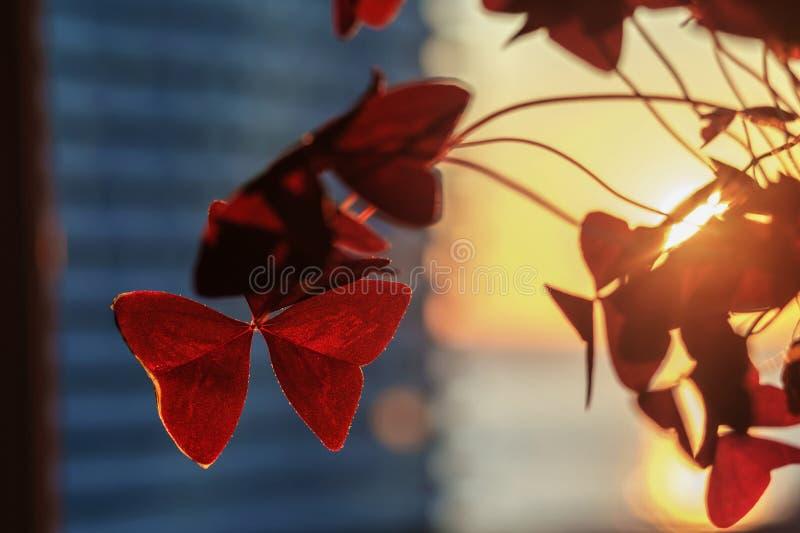 Plante de shamrock violet, d'oxalis ou de plante d'amour avec fond flou au coucher du soleil photographie stock libre de droits