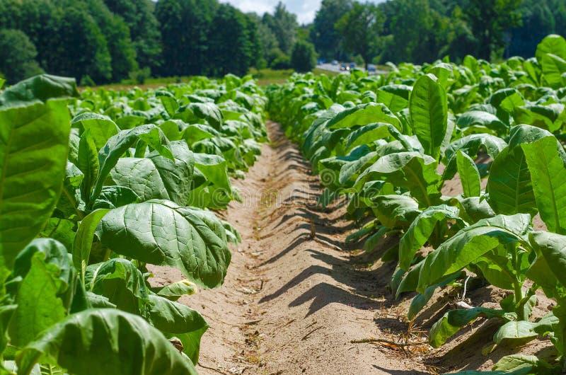 Plante de tabac, agriculture pour l'industrie des produits du tabac photo stock
