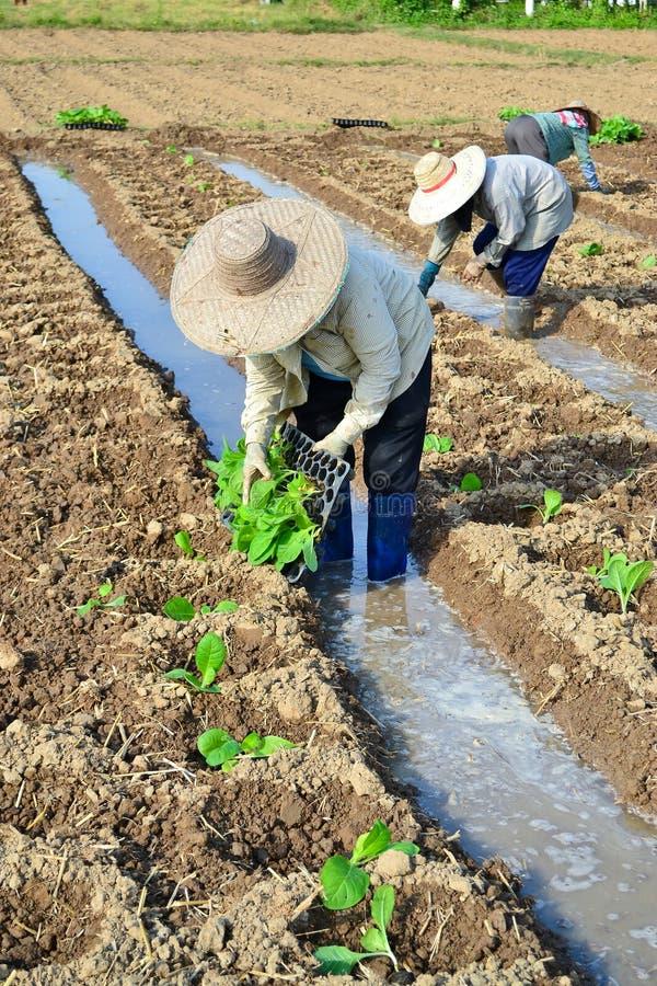 Plante de tabac dans la ferme de la Thaïlande photo stock