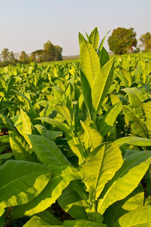 Ferme de plante de tabac image libre de droits