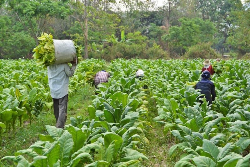 Plante de tabac et agriculteur dans la ferme photographie stock libre de droits