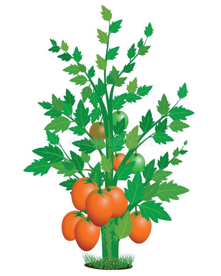 Plante de tomate illustration stock