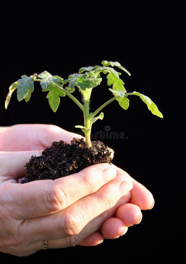 Plante de tomate avant de beeing planté images stock