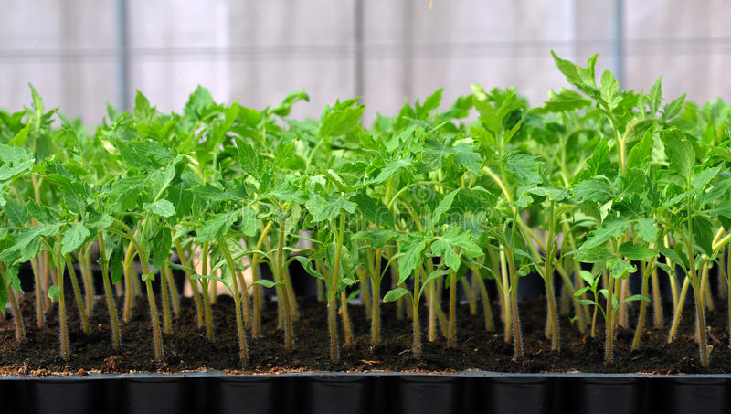 Plante de tomate dans le plateau en plastique photos libres de droits