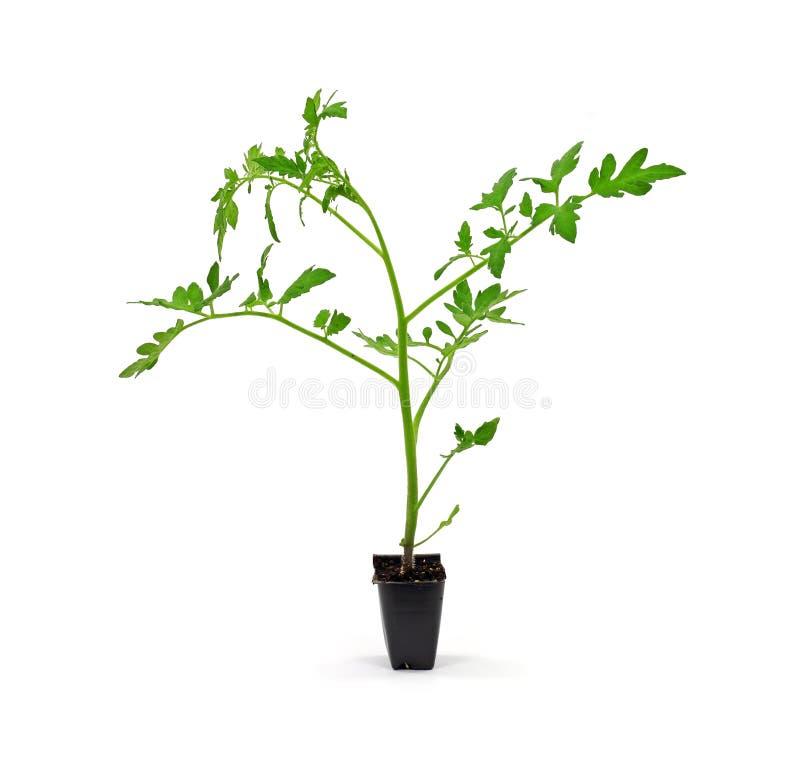 Plante de tomate simple de serre chaude photographie stock