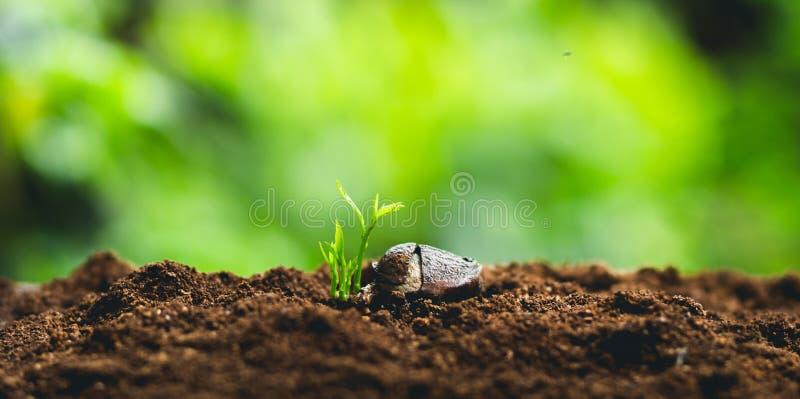 Plante el crecimiento de los árboles del establecimiento de semillas, las semillas están germinando en suelos de la buena calidad fotos de archivo