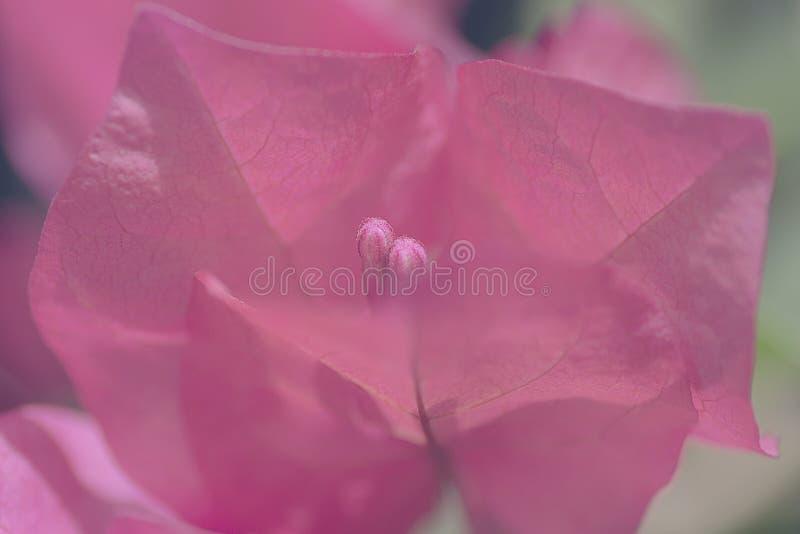Plante el fondo las brácteas y las flores de la buganvilla fotografía de archivo libre de regalías
