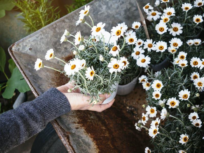 Plante en pot de fleurs blanches avec la main tenant à la maison le jardinage images stock