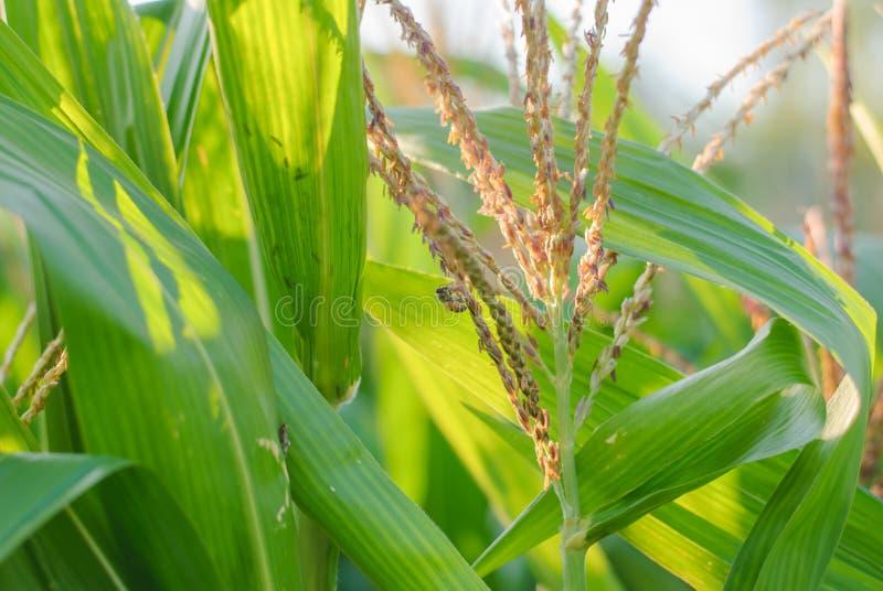 Plante et fleur de maïs photo stock