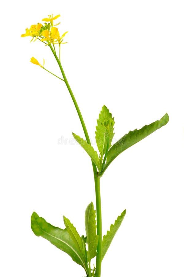 Plante et fleurs de moutarde images stock