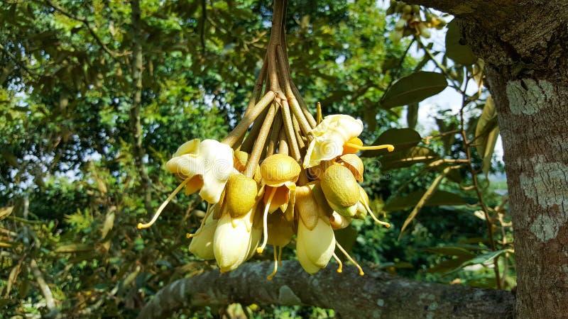 Plante fruitière et fleur en gros plan de durian dans le jardin, Thaïlande photographie stock libre de droits