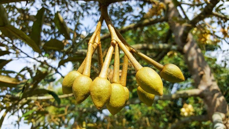 Plante fruiti?re et fleur en gros plan de durian dans le jardin, Tha?lande photographie stock libre de droits
