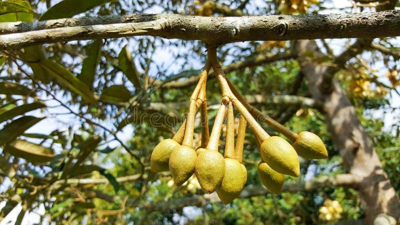 Plante fruiti?re et fleur en gros plan de durian dans le jardin, Tha?lande images stock