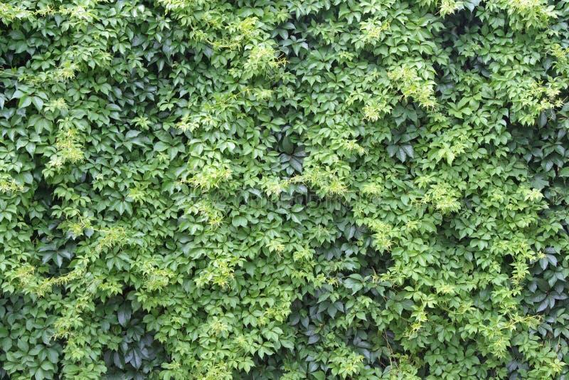 plante grimpante de mur photo stock image du jardin ext rieur 2542424. Black Bedroom Furniture Sets. Home Design Ideas